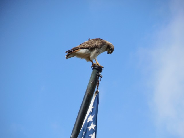 9.5.10  National Iwo Jima Memorial, Petrovics, 1995, New Britain, CT. Redtail  lands on flagpole.